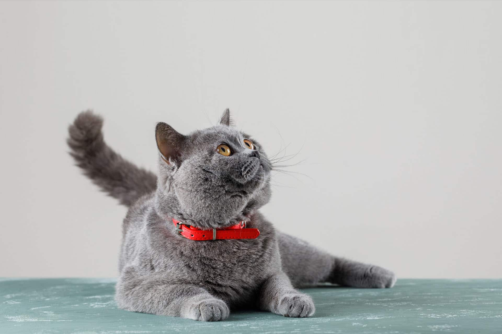 grey cat lying looking up 1